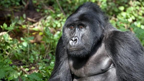 gorilla-.
