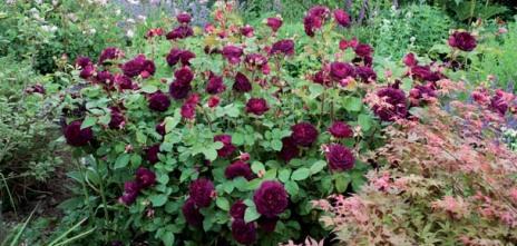 english roses1