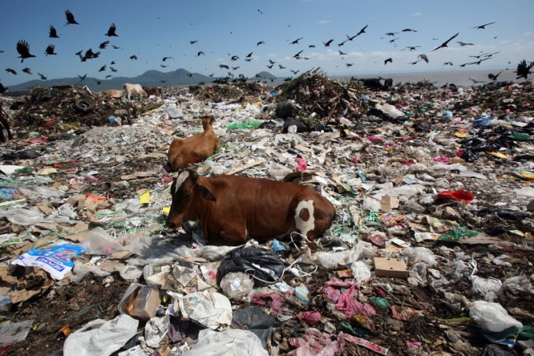 Two cow rest while birds fly overhead in search of food at the Managua's municipal garbage dump
