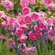lish rose